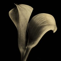 Calla Lilies Sepia by Michael Harrison - various sizes