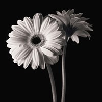 Gerber Daisies 1 by Michael Harrison - various sizes