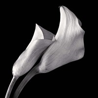 Calla Lilies by Michael Harrison - various sizes
