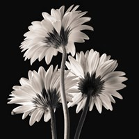 Gerber Daisies 2 by Michael Harrison - various sizes