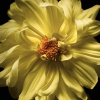 Yellow Delight by Michael Harrison - various sizes