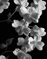 Dogwood 2 by Michael Harrison - various sizes