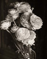 Ranunculus by Michael Harrison - various sizes