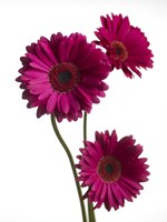 Pink Gerbera 2 by Michael Harrison - various sizes