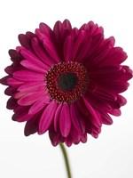 Pink Gerbera 3 by Michael Harrison - various sizes