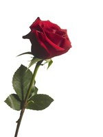 Red Rose 1 by Michael Harrison - various sizes
