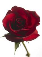Red Rose 2 Fine Art Print