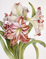 Red And White Amaryllis by Joanne Porter - various sizes