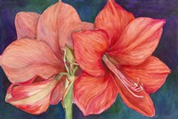 Amaryllis Blooms by Joanne Porter - various sizes - $30.49