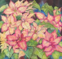 Pink Variegated Poinsettia by Joanne Porter - various sizes