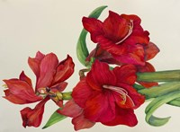 Amaryllis Standing Tall by Joanne Porter - various sizes
