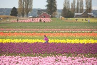 Tulip Farm, Washington Fine Art Print