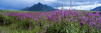 Blooming Fireweed in Ogilvie Mountains by Paul Souders - various sizes