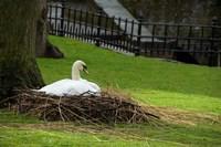 Belgium, Nesting Swans Fine Art Print