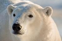 Canada, Manitoba, Hudson Bay, Churchill Polar bear Fine Art Print