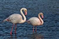 Greater Flamingo bird, Camargue, France Fine Art Print