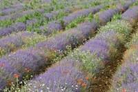 Rows of Lavender in France Fine Art Print