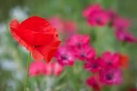 Red Poppy in Wildflower Field Fine Art Print