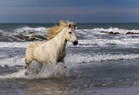 Camargue Horse in the Surf Fine Art Print