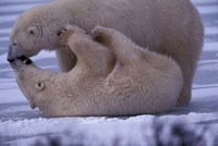 Polar Bears in Canada Fine Art Print