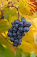 Beaujolais Red Grapes in Autumn Fine Art Print