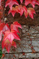 Red Ivy on Stone Wall Fine Art Print