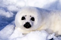 Harp Seal Pup at Gulf of St Lawrence Fine Art Print