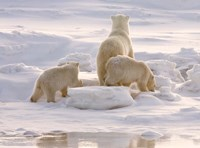 Polar Bear in Churchill Fine Art Print