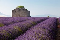 Lavender fields, Provence, France Fine Art Print