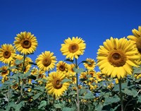 Sunflowers, France Fine Art Print