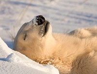 Sleeping Polar Bear Fine Art Print
