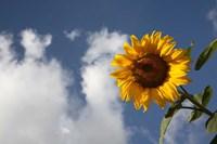 Sunflower field in Loire Valley France Fine Art Print