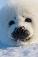 Harp Seal Pup, Canada Fine Art Print
