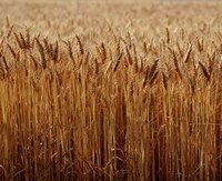 Field of Wheat, France Fine Art Print