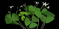Shamrocks Fine Art Print