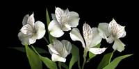 White Alstromeria Fine Art Print