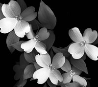 Dogwood (black & white) Fine Art Print