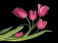 Tulips 3 Fine Art Print