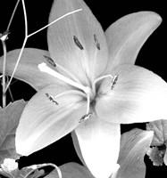 White Lily II Fine Art Print