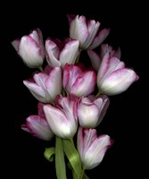 Tulips1 Fine Art Print
