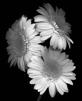 Gerbera Daisy Fine Art Print