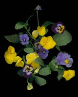 Pansies 1 Fine Art Print
