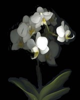 Mini White Orchids Fine Art Print