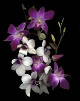 Dendrobium Orchids Framed Print