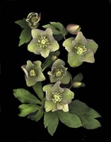 Lenten Rose Framed Print