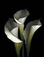 White Calla 1 Fine Art Print