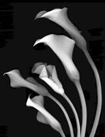 Calla Lilies 3 Fine Art Print