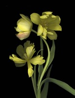 Yellow Dutch Tulip 1 Fine Art Print