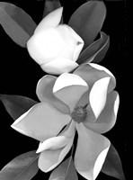 White Magnolia 1 Fine Art Print
