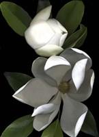 White Magnolia 2 Fine Art Print